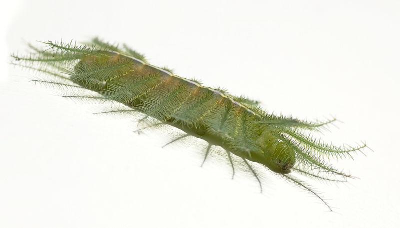 caterpillar euthalia aconthea common baron