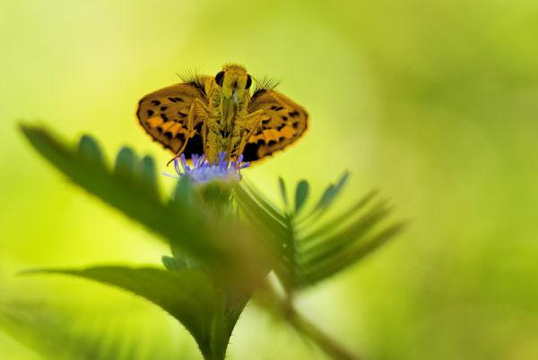 butterfly vlinder ampittia dioscorides bush hopper