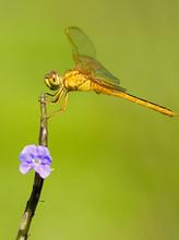 dragonfly libel neurothemis