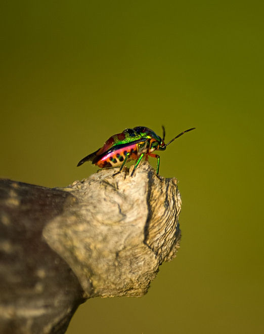 jewel bug schildwants shield bug scutelleridae