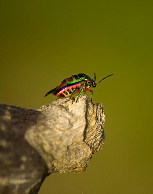 jewel bug schildwants shield bug scutelleridae