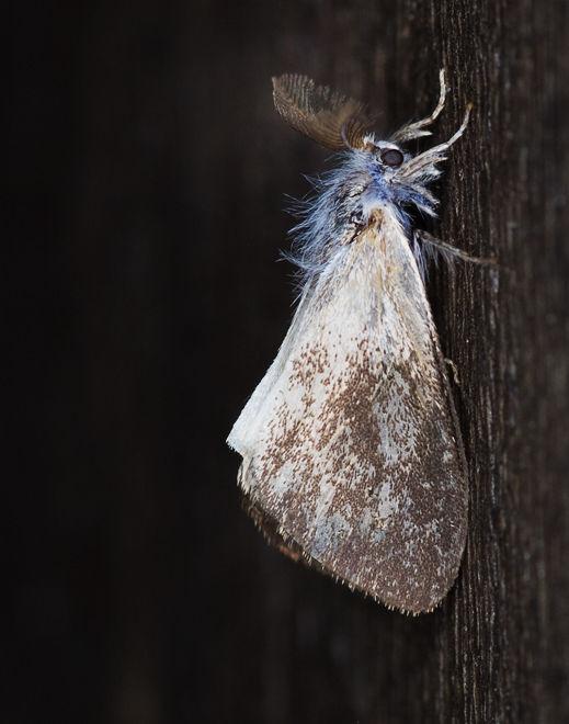 mot moth Thailand lepidoptera