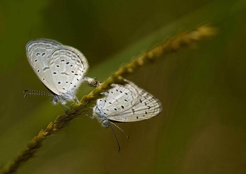 vlinder butterfly blue  thailand lycaenidae