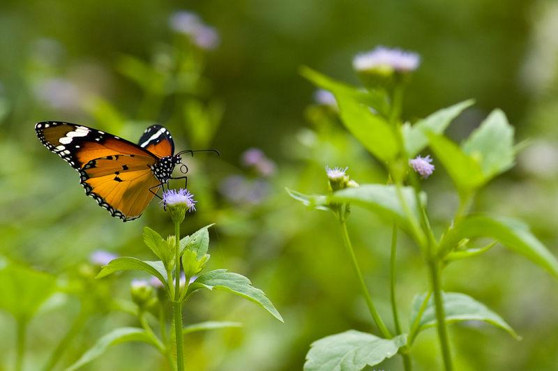 vlinder butterfly plain tiger danaus chrysippus