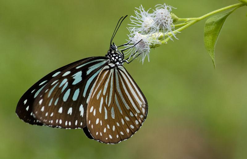 vlinder butterfly blue tiger tirumala limniace