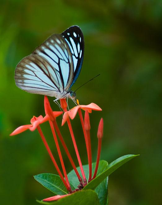 butterfly Pareronia anaisThe Wanderer