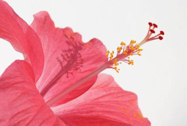 hibiscus flower malvaceae rosemallow