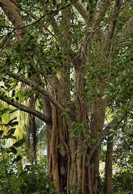 banyan tree boom Thailand Koh Samui