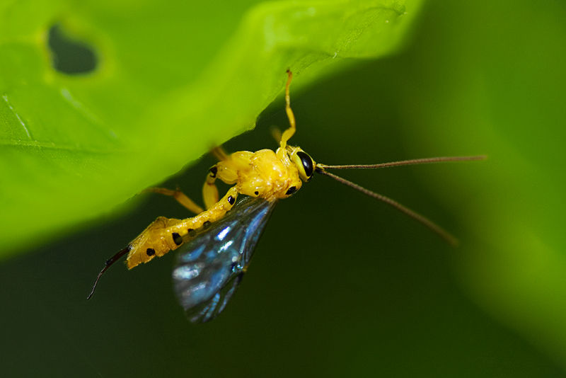 ichneumon scorpion wasp apocrita Thailand macro
