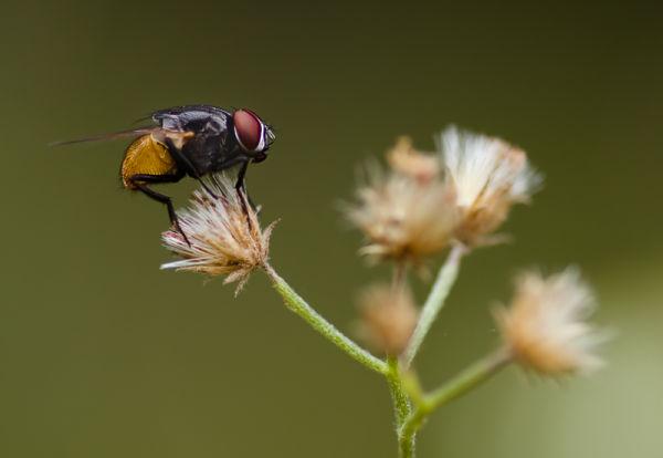 fly vlieg macro thailand diptera brachycera