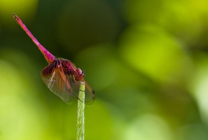 libel dragonfly Trithemis aurora Dawn Dropwing