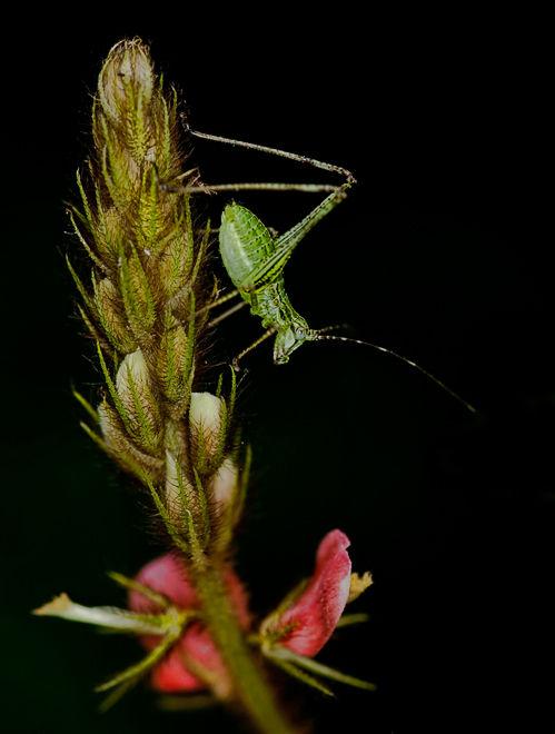sabelsprinkhaan bush cricket nymph nimf macro