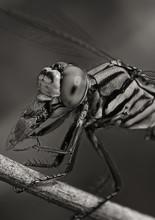 dragonfly with prey libel met vlieg macro