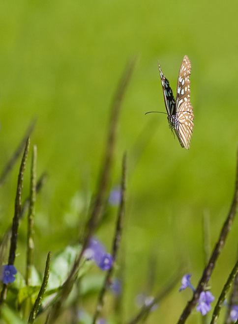 macro vlinder butterfly Koh Samui Thailand