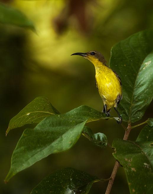 Nectarina jugularis olive backe sunbird bird