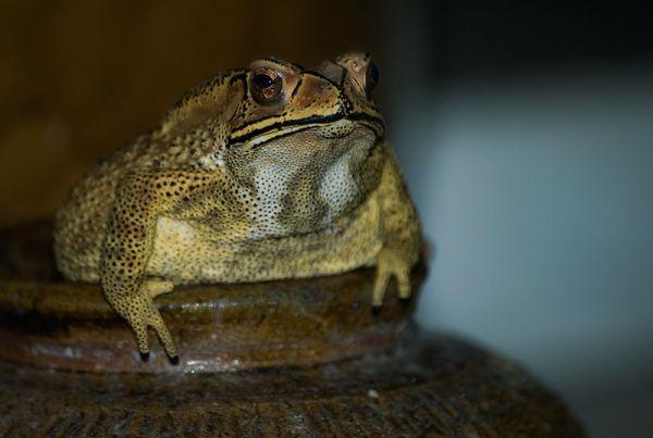 pad blackspined toad Bufo melanostictus lijstenpad