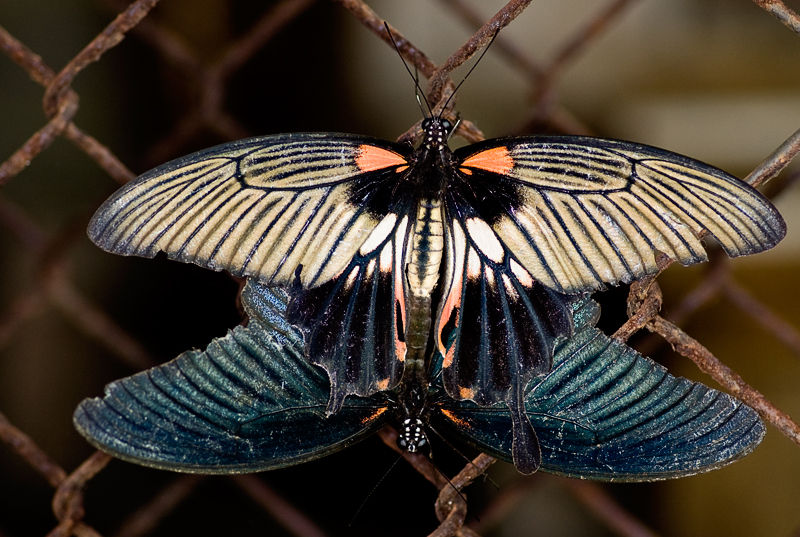 vlinder butterfly mating common mormons papilio