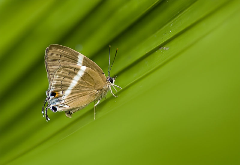 vlinder butterfly theclinae hairstreak