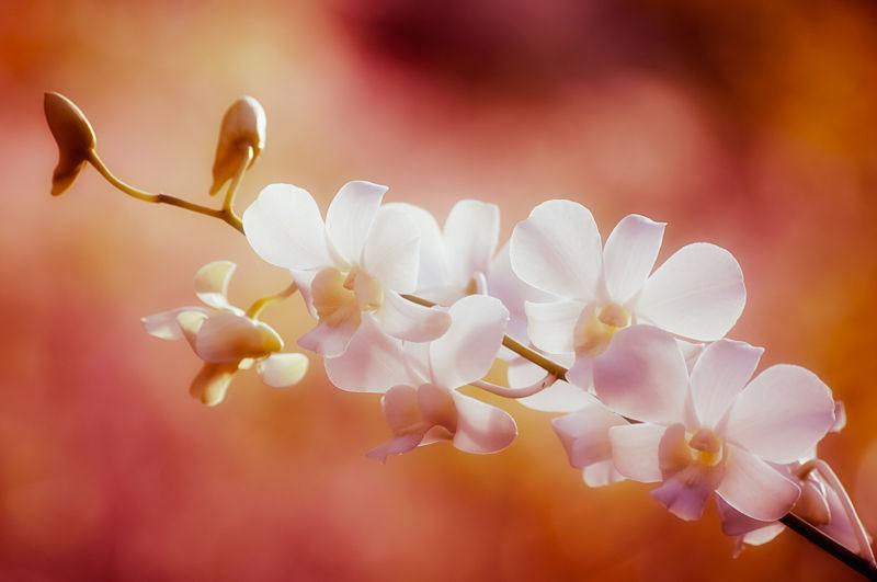 white orchid koh samui thailand flower