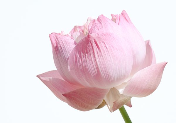 pink lotus flower high key bloem