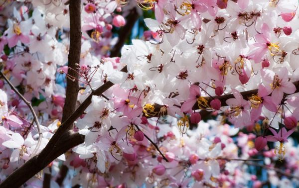 roze pink bloesem blossom tree boom Thailand