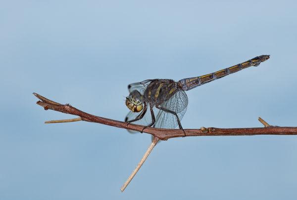 libel dragonfly