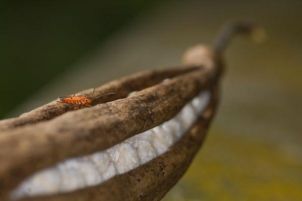 firebug on kapok pod vuurwants in kapokvrucht