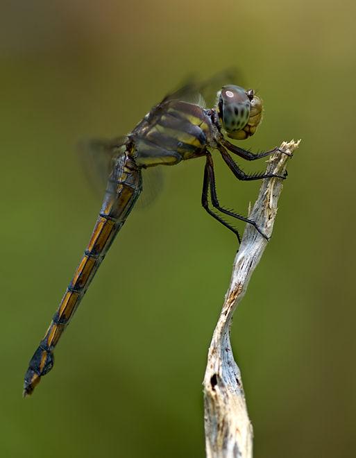 dragonfly orthetrum luzonicum marsh skimmer female