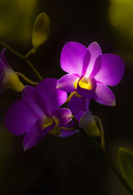 paarse orchidee in tegenlicht backlight orchid