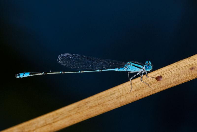 blue sprite damselfly pseudagrion microcephalum