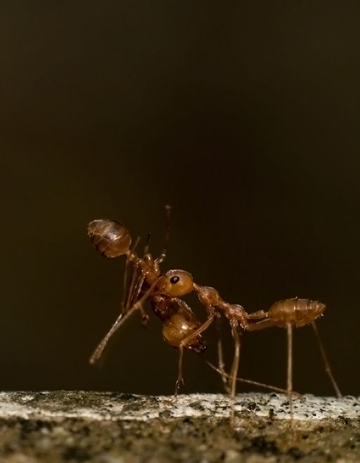 macro of red weaver ant carrying a body