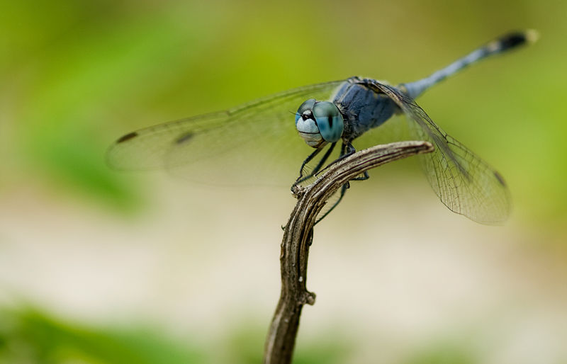 dragonfly macro insect Diplacodes trivialis