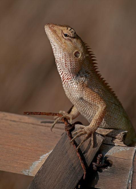 lizard hagedis squamata reptile calotes versicolor