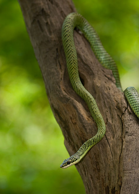 Chrysopelea golden tree snake