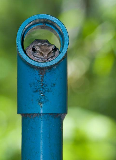 treefrog Polypedates Leucomystax boomkikker