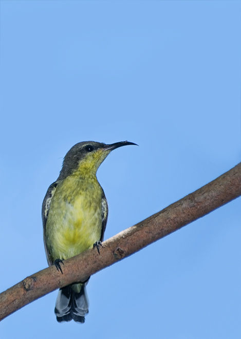 olive-backed sunbird Cinnyris jugularis