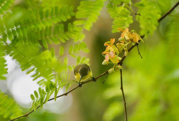 olive-backed sunbird Cinnyris jugularis tamarind