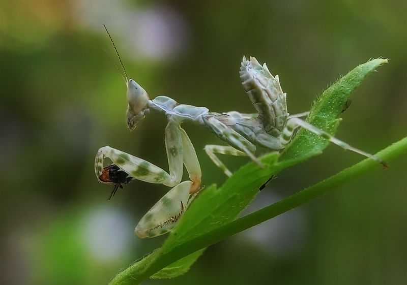 nymph flower praying mantis with pray