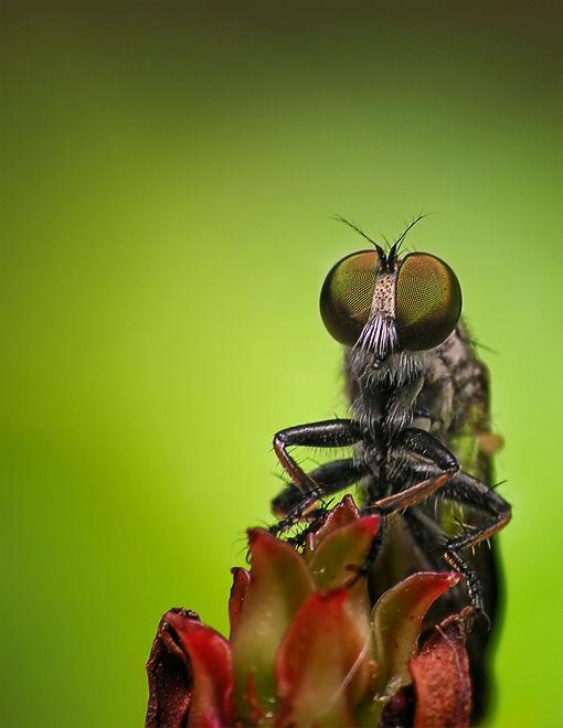 robber fly asilidea roofvlieg
