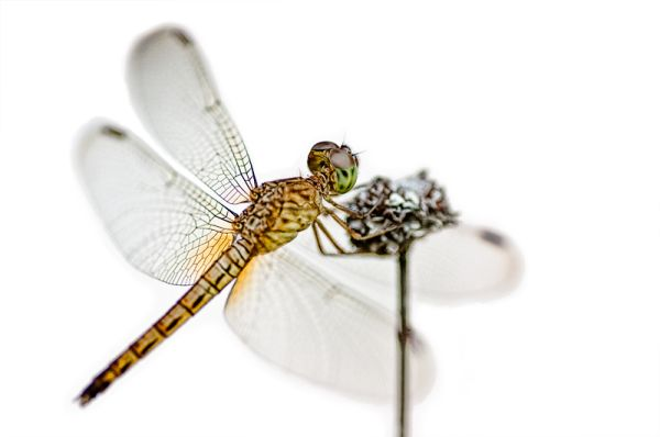 dragonfly macro insect