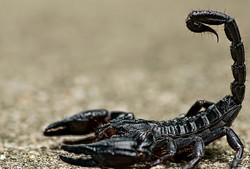 close up black scorpion thailand samui