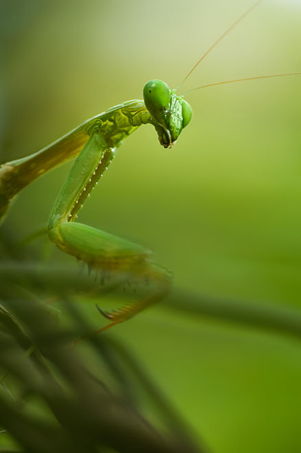 macro praying mantis insect Thailand