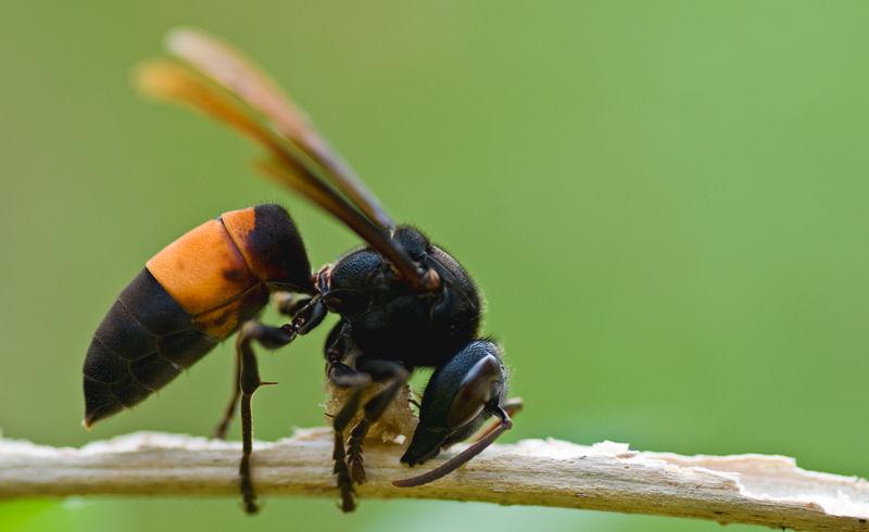 macro lesser banded hornet thailand