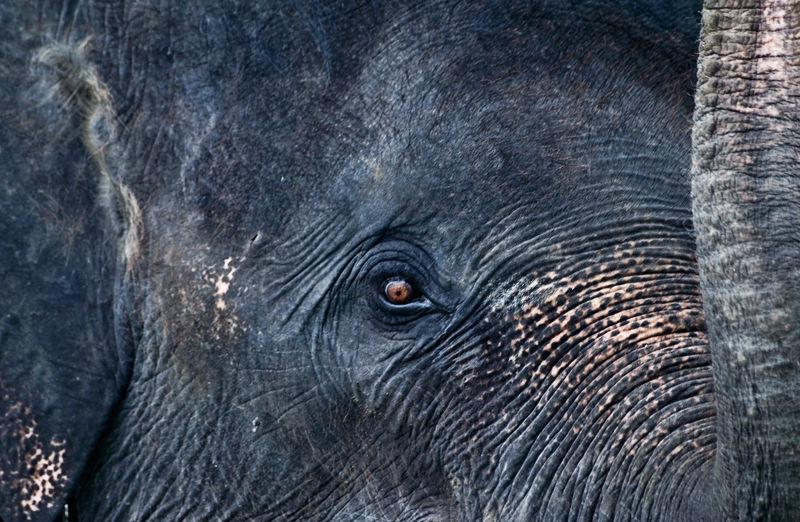 close up asian elephant thailand koh samui