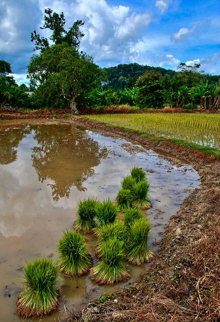 paddy field Satun Thailand