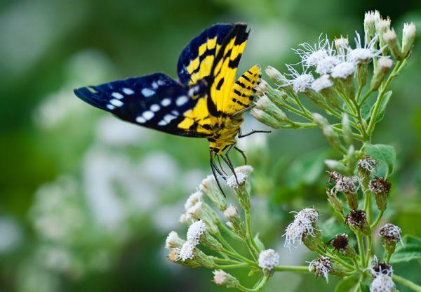 lepidoptera geometridae dysphania subrepleta
