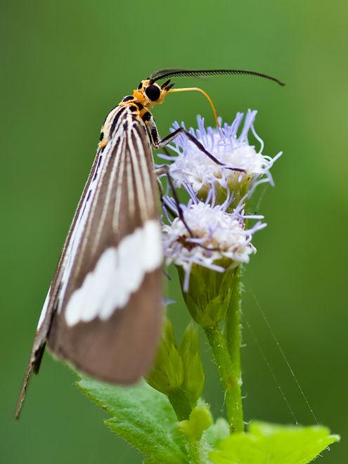 marbled white moth nyctemera coleta arctiinae