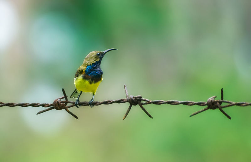 olive backed sunbird male
