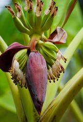banana flower with bananas
