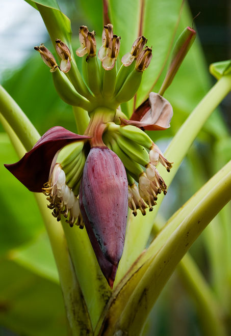 banana flower with bananas